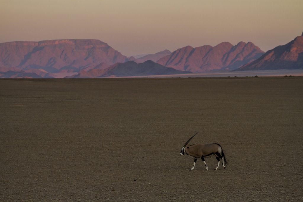En ensam oryx på vandring genom ett bedårande vackert landskap i solnedgången.