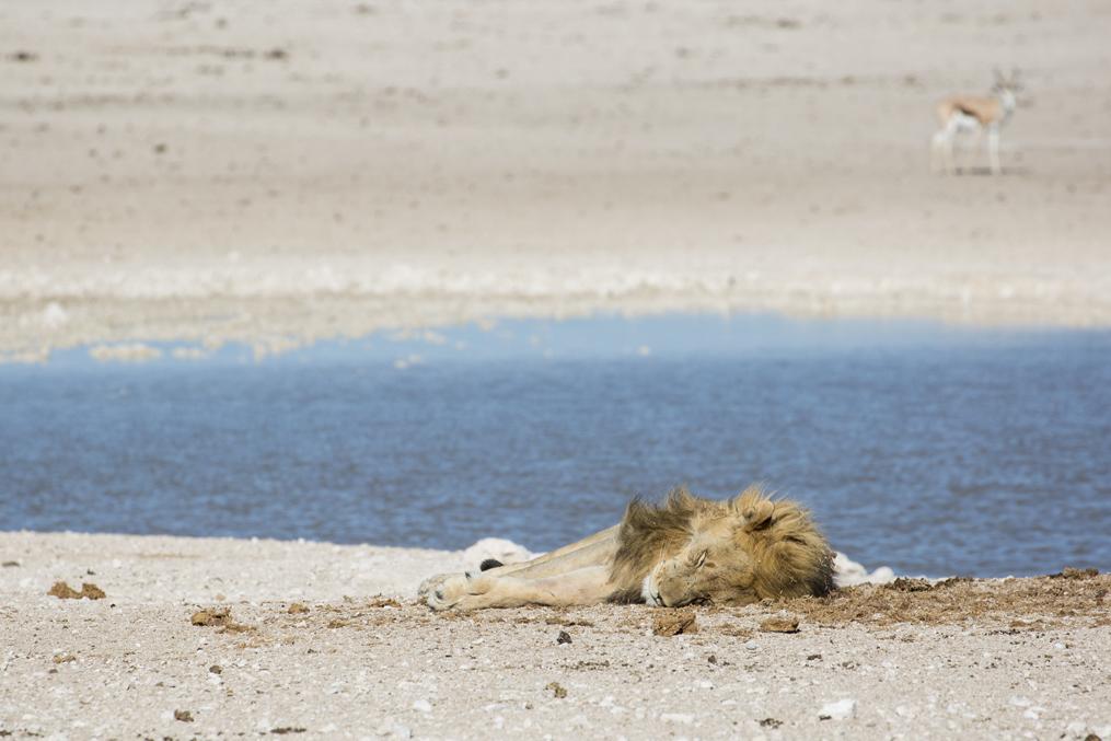 Vid ett annat vattenhål hittar vi den här vilande hanen