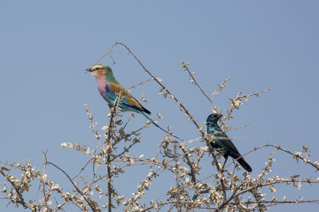 Lilabröstad blåkråka samsas med grönglansstare