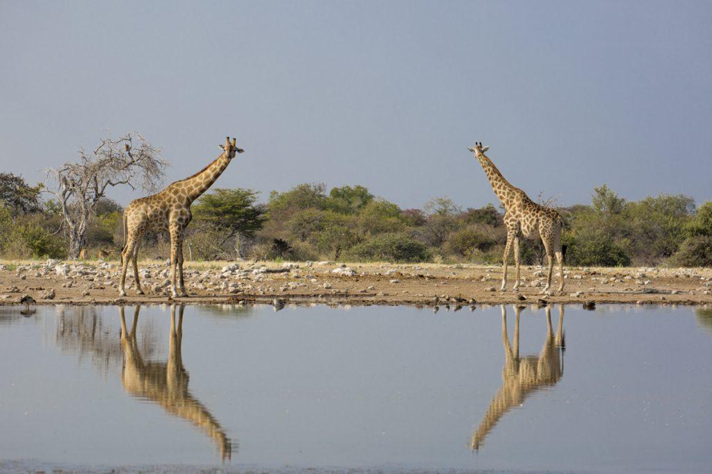 Vattenhålet Klein Namutoni blev en favorit med vattenhålet i ögonhöjd