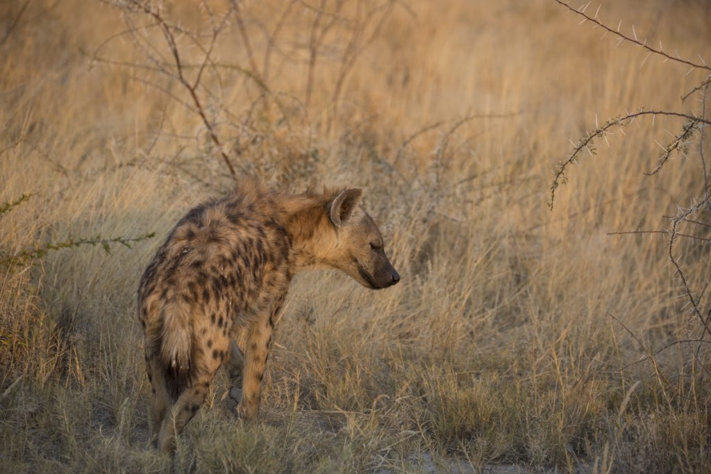En ensam hyena strök omkring bland taggiga buskar i kvällsljuset