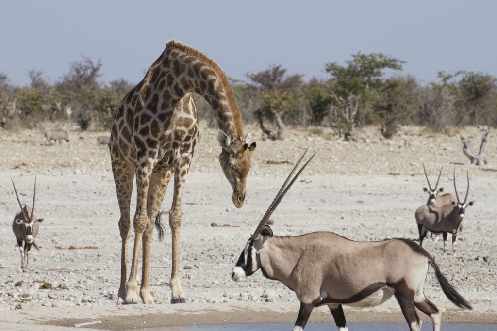 Giraff flankerad av Namibias nationaldjur oryx