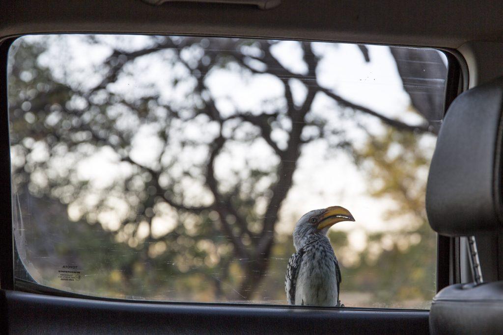 En hornbill från insidan av bilen, eller Nordlig rödnäbbstoko som den heter på svenska