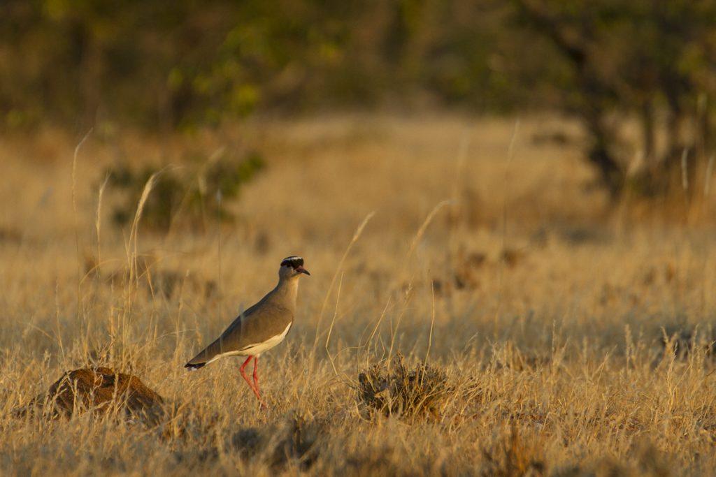 Mycket fågelsång vid Madisa Campiste, här har vi en Kronvipa.