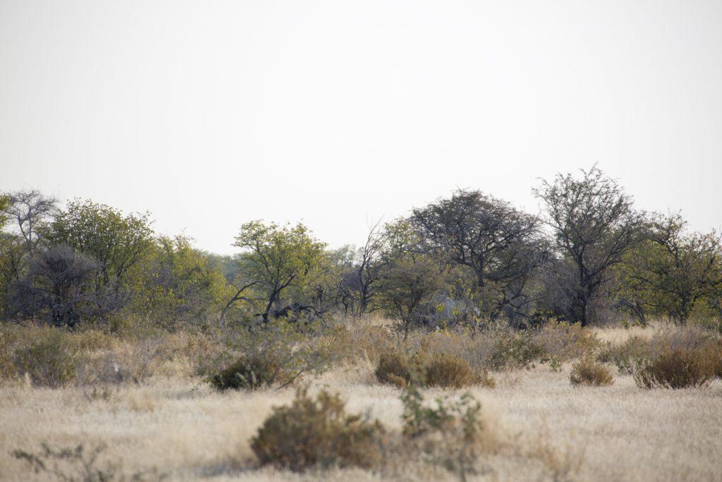 Hittar du noshörningen? Här gömde den sig bakom buskarna när Ylva fick syn på den.
