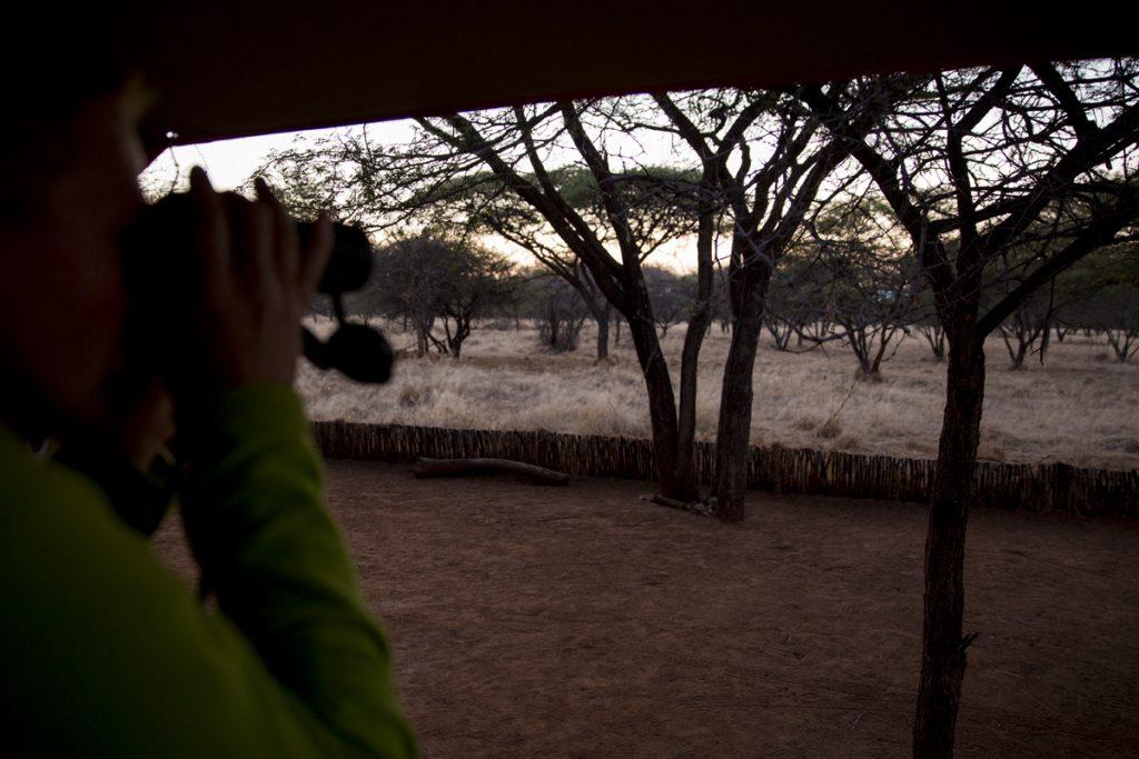 Spanar ut från tältet på taket om vi ser några djur i gryningen