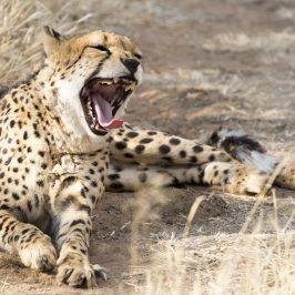 Namibia 5 – Waterberg, Windhoek och geparder