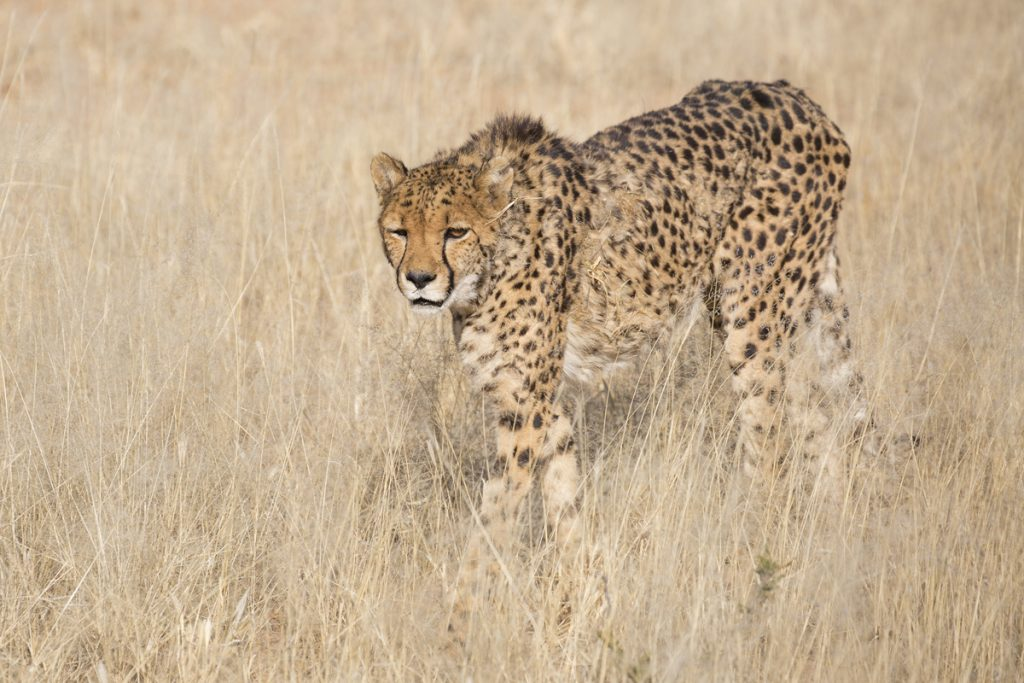 Geparden - värdens snabbaste däggdjur kommer upp i hastigheter runt 110 km. Den här honan hade dock inte så bråttom. Hon är den äldsta i flocken.
