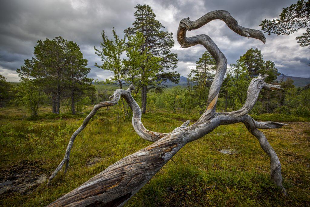 Vridna träd bildar naturliga konstverk