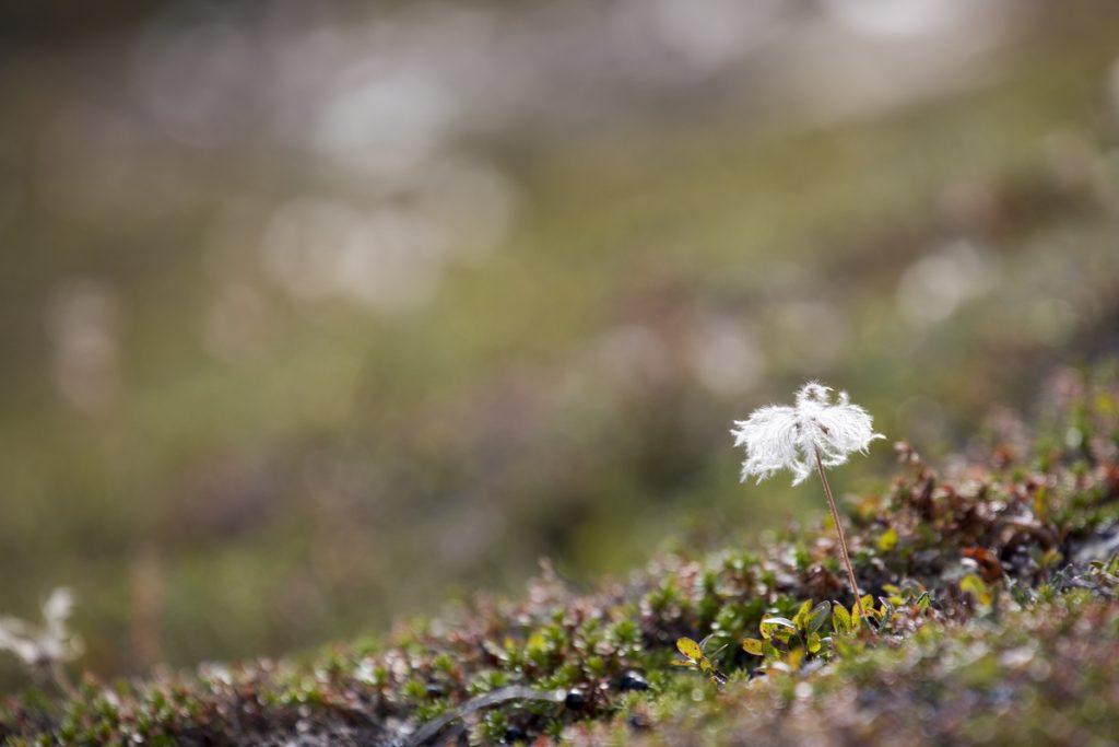 En överblommad fjällsippa förgyller Njullas sluttning