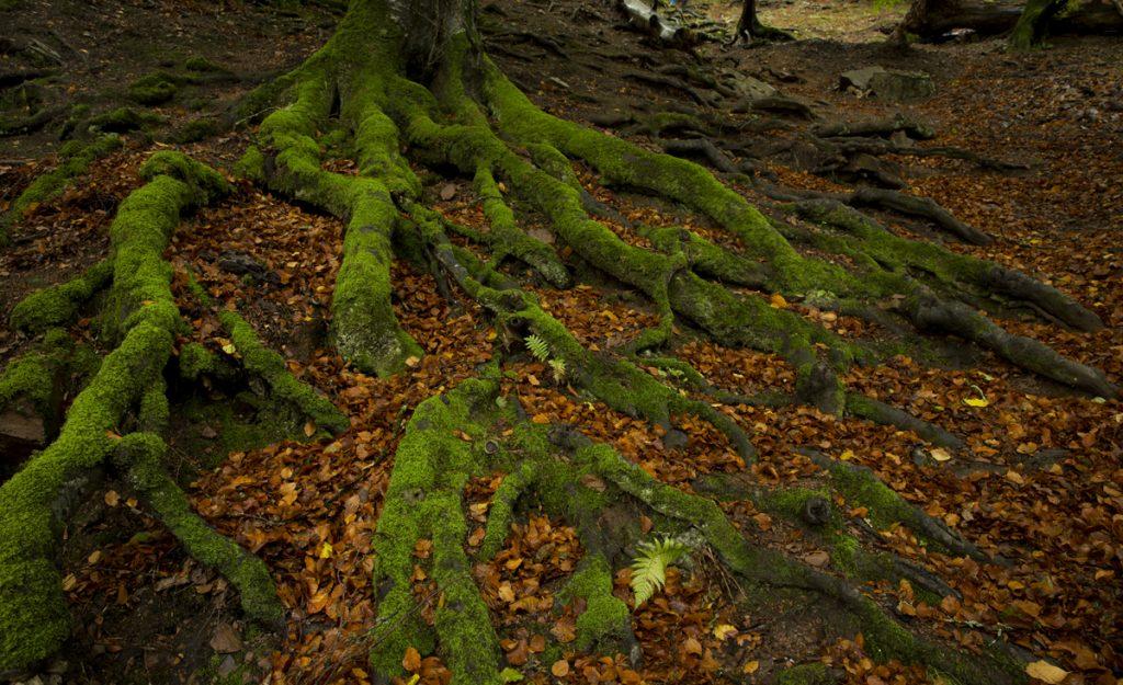 Mossbeklädda rötter - som i en saga. Saknar bara trollen