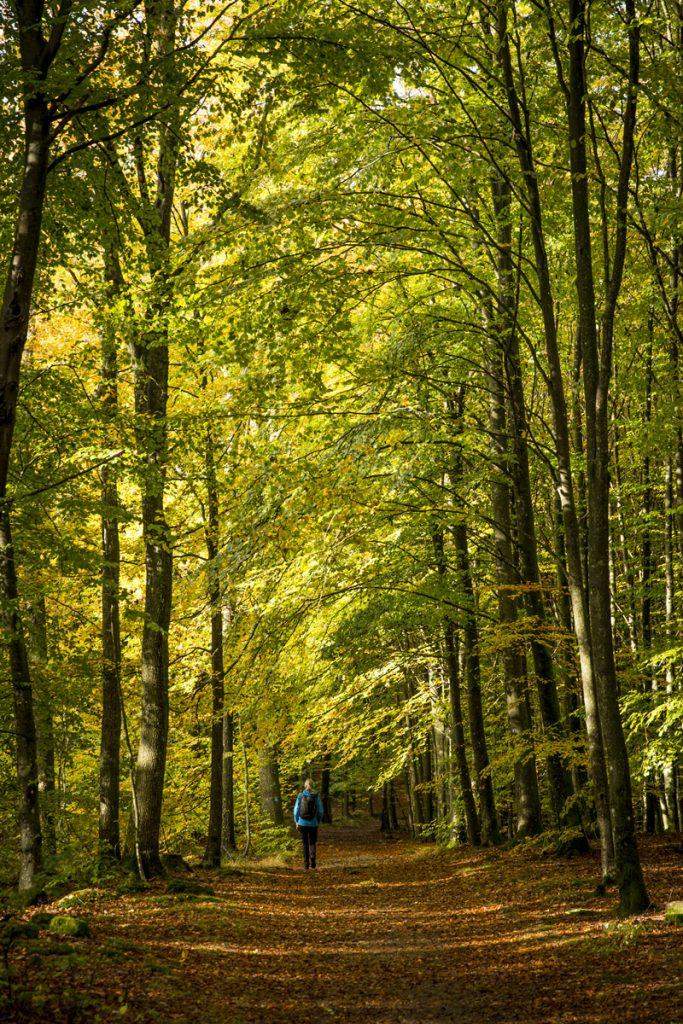 En fröjd att vandra i denna miljö, genom en höstgulnande bokskog