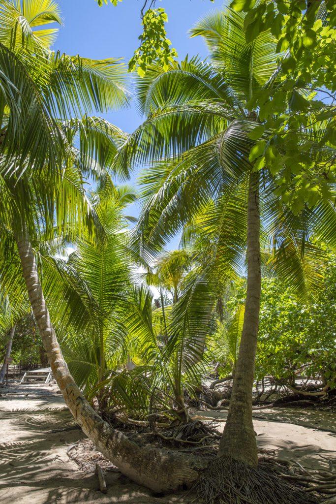 Vi gick genom skogar av palmer på Curieuse