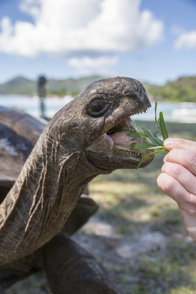Hungriga jättesköldpaddor