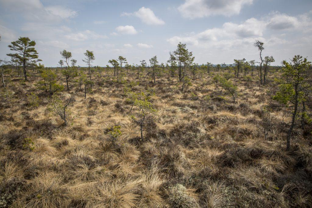 Det syrefattiga sumpvattnet ger inte mycket näring åt växterna så martallarna får kämpa frenetiskt för att nå över 2 meter